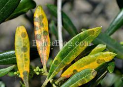 zeytin-halkali-leke-hastaligi-2